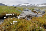Arctic Cottongrass (Eriophorum scheuchzeri)